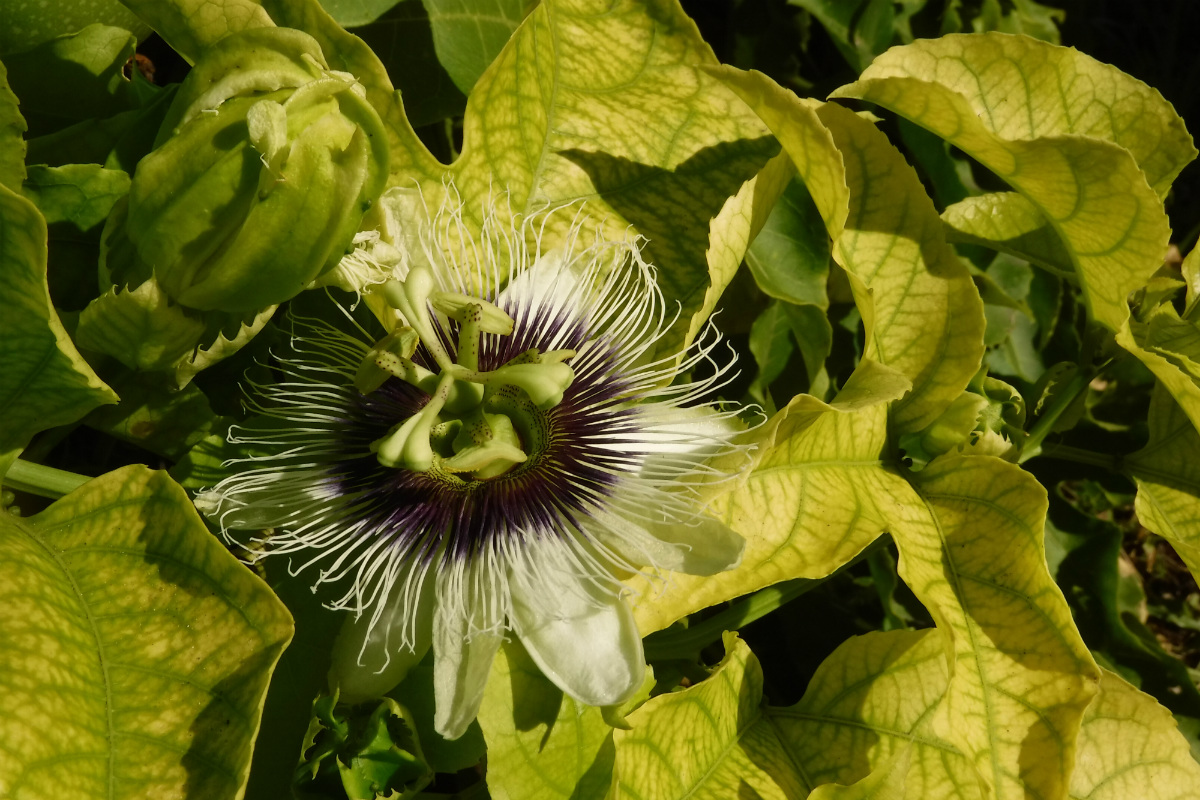 passion fruits flower