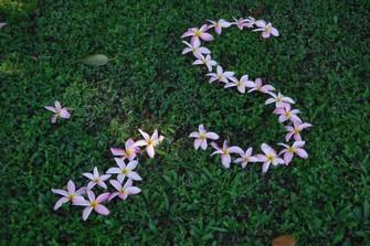 お花の季節は蜂に注意 伝統的な治療薬はプルメリアの樹液