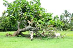 goats climbing trees
