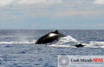 クック諸島を訪れるザトウクジラの話 海洋生物学者ナンさんより
