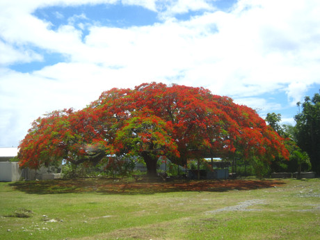 ラロトンガ島に夏の訪れを告げる花