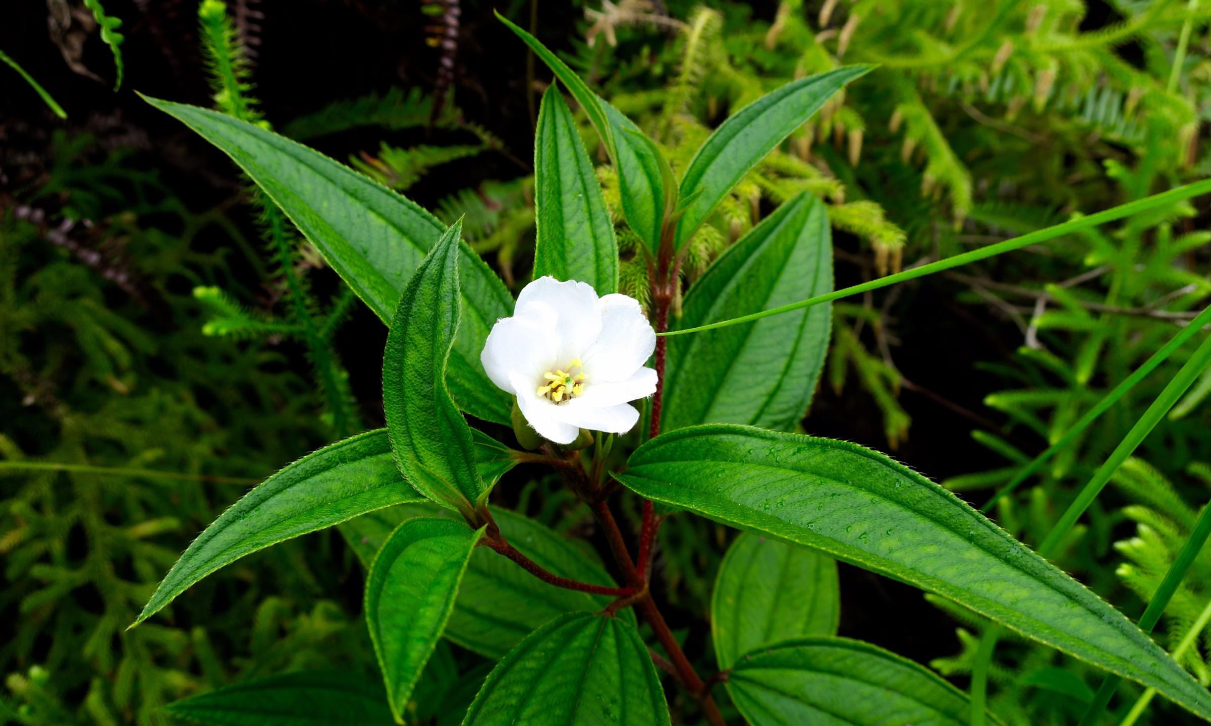 cross island trek white flower south side path