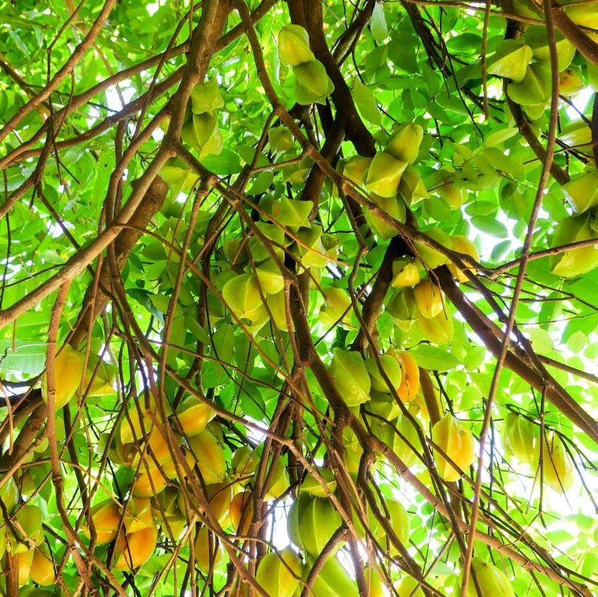 starfruits_08
