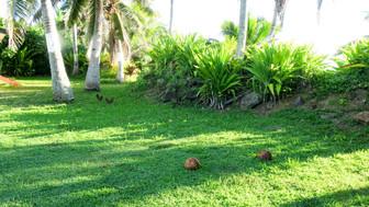 島生活のお手伝い 庭のココナッツ拾い