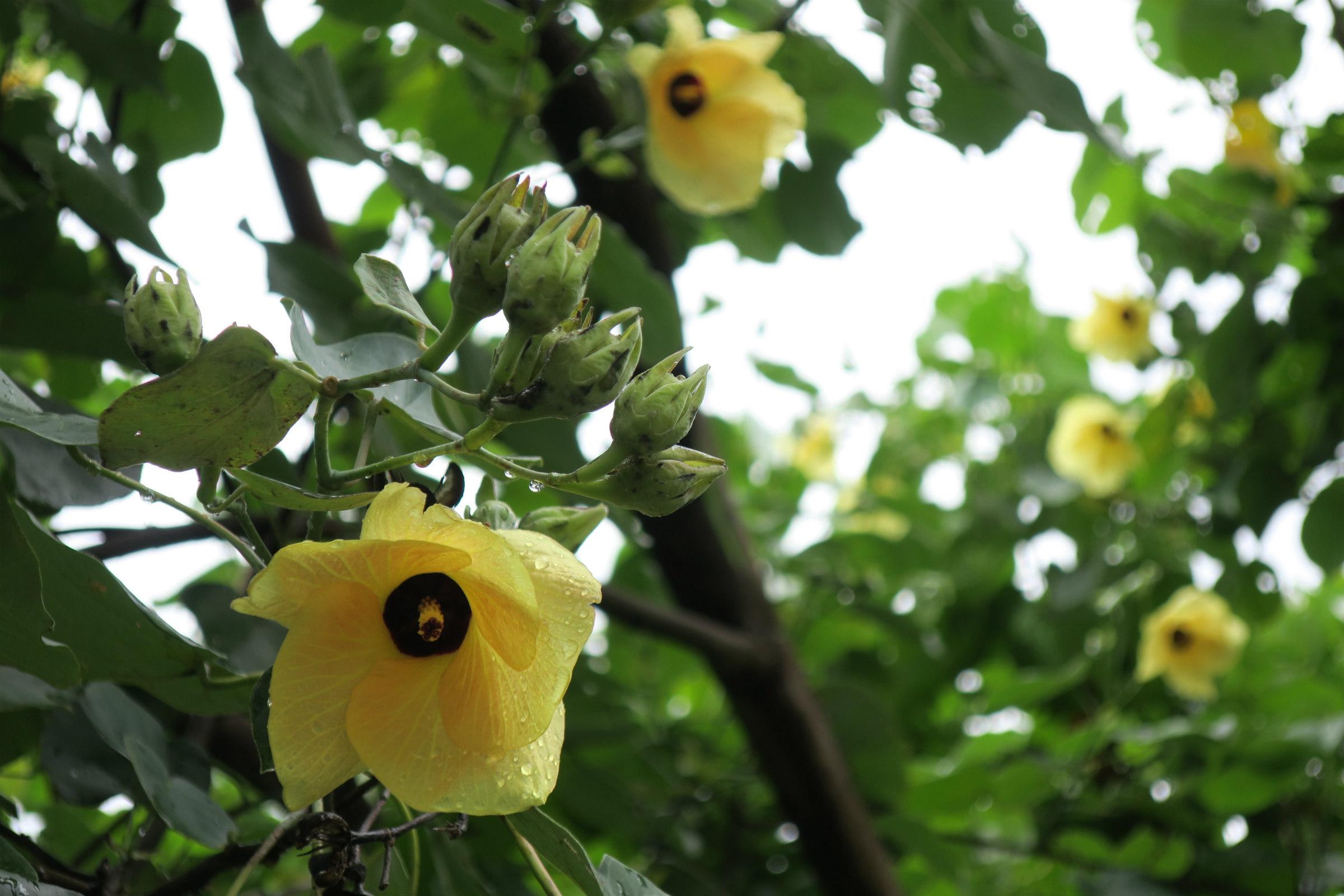 jambo hibiscus