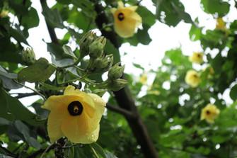 クック諸島の生活に密着した植物① ジャンボハイビスカス