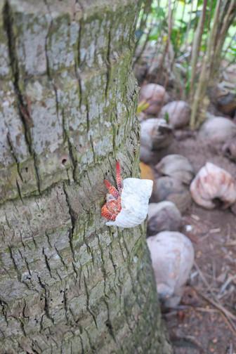 ヤドカリは木登り名人 エイプリルフールの新発見
