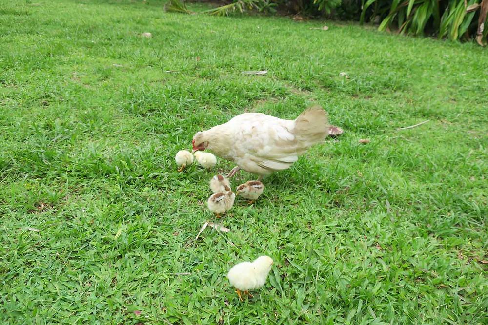 クック諸島 ラロトンガ島 ペット ニワトリ