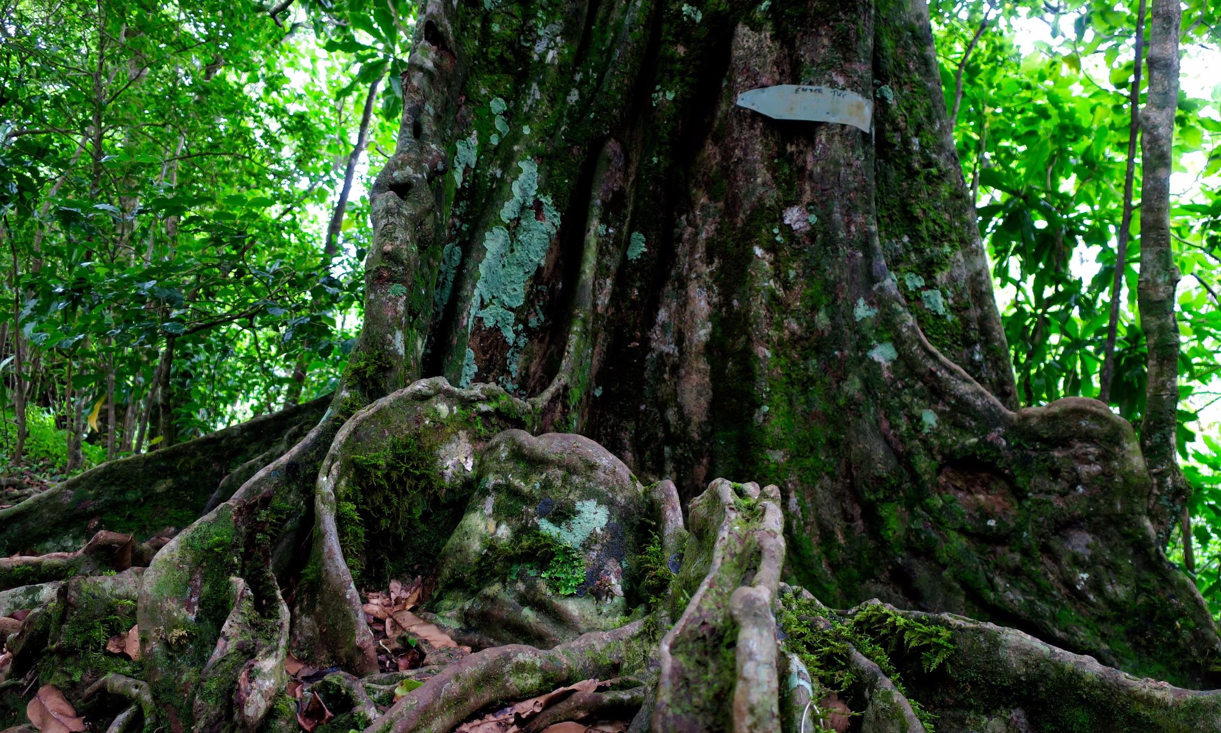 cross island trek giant tree