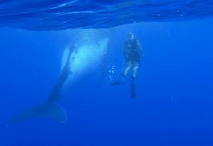 クック諸島 アイツタキ島 ホエールウォッチング ホエールスイム アクティビティ