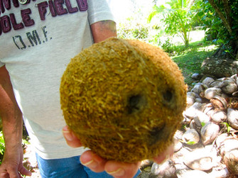 【旅の感想】日本人ガイドが案内するラロトンガ島1周観光 コアな体験でした