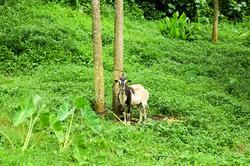 good morning goat
