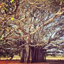 Kaç ağaç yılı? Mysore, Hindistan