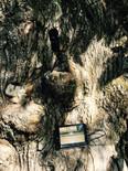 Tronco de Pumbariños