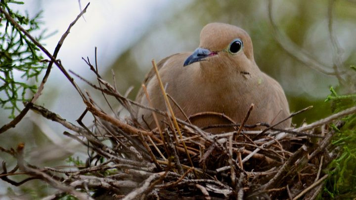 A dove in her nest