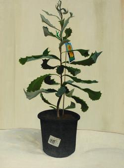 Banksia, 1996