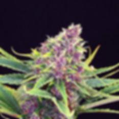 Purple Master Kush.jpg