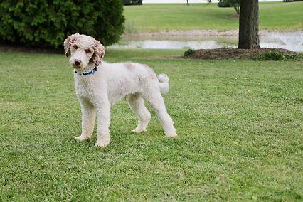 King - Purebred Medium Poodle