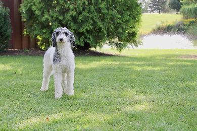 Bella - Purebred Medium Poodle