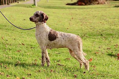 Mishia - Purebred Standard Poodle
