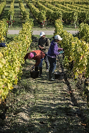 Grape-pickers-crop.png