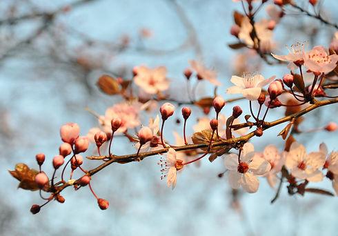 stockvault-cherry-blossom132309.jpg