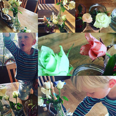 Water experiments! White roses & food colouring in water - watch transpiration in action as the food dye colours the white roses__#watereduc