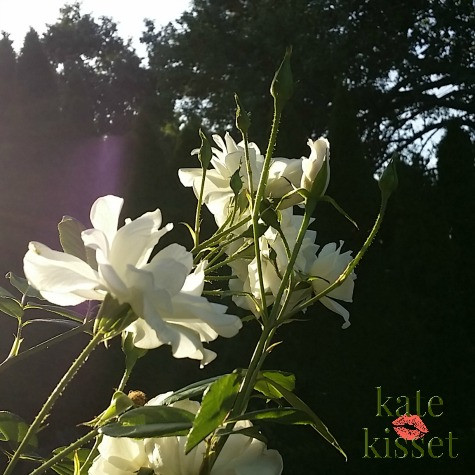 Fall in wine country. White Roses in Kate Kisset's garden are going strong.