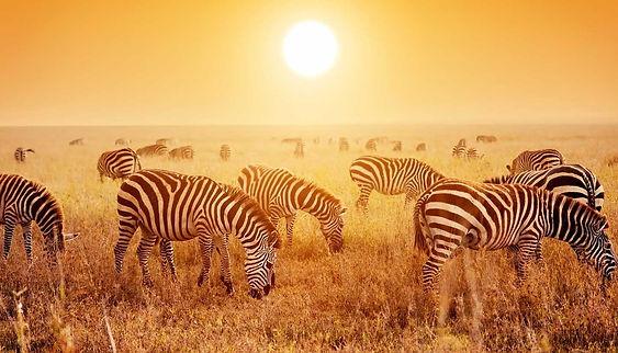 Think-Tanzania-Serengeti-Zebra-480747213