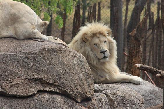 White Lion.JPG