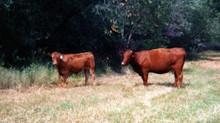 Advantages of Composite Cattle
