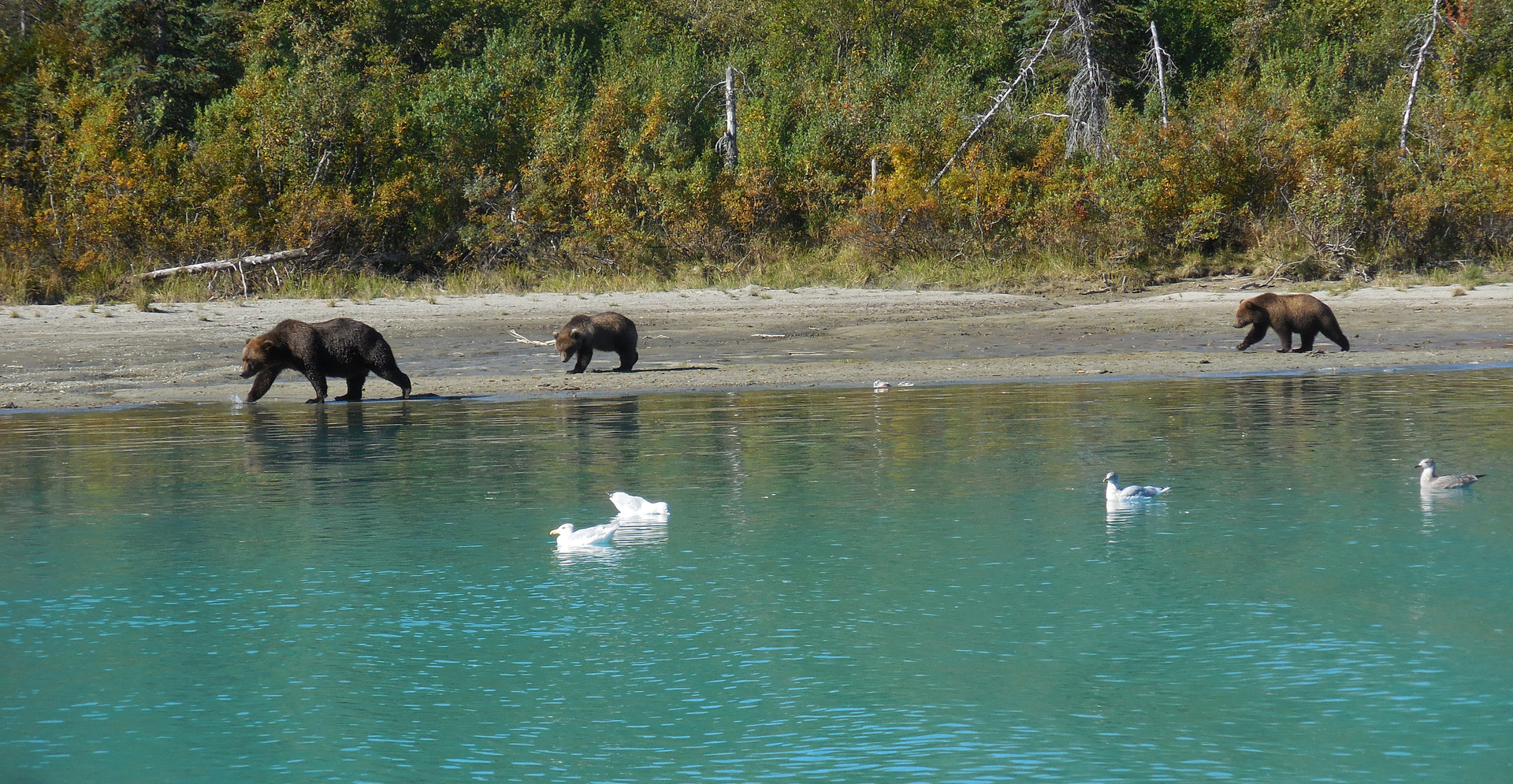 Brown Bear and her cubs looking for Salmons leftover at the end of the season. Crescent Lake, Lake Clarck National Park, Alaska.