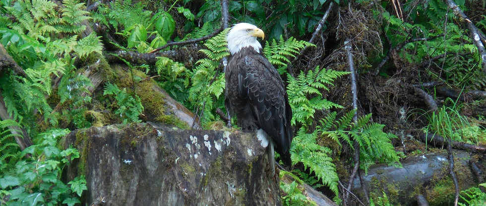 The symbol on the US and the place where the biggest congragation of Bald Eagles during summer time taking place, Anan Creek, SE Alaska. Photo by Ido Gayer.