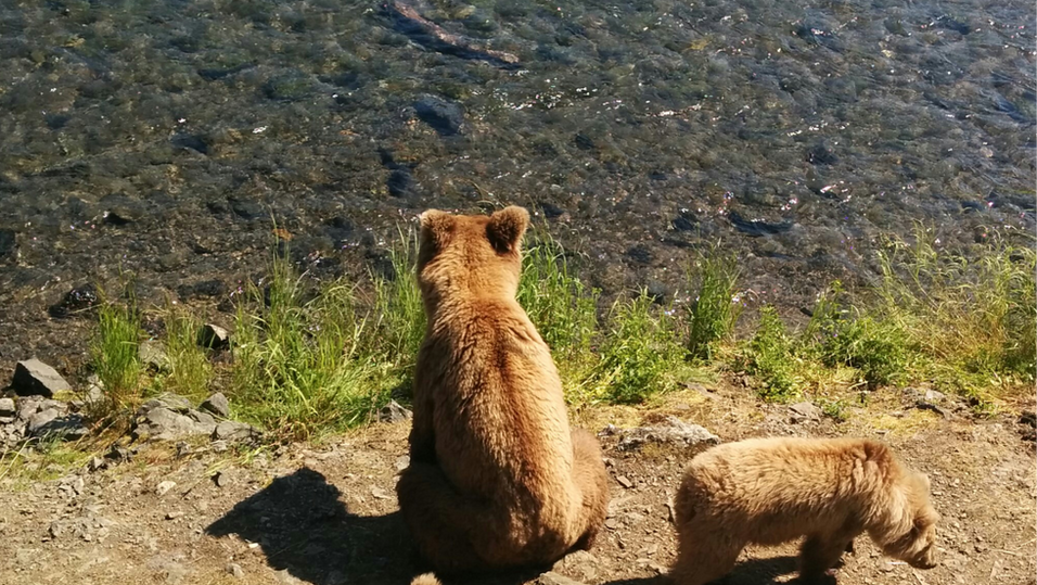 Brown Bear sow with 3 cubs, looking patiantly for red Salmon. Brooks Falls, Katmai. Photo by Ido Gayer.