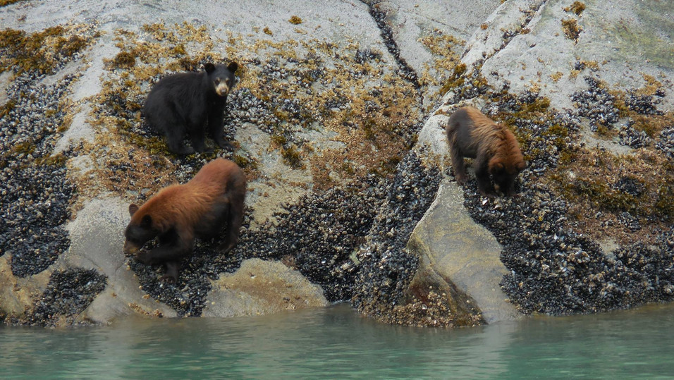Cinamon Bear (Black Bear) sow with 2 cubs. looking for clams and mussels during low tide in the Fjord of Tracey Arm.  Photo by Ido Gayer.