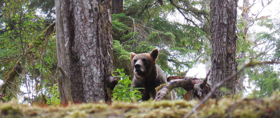 Brown Bear checking who is making all this noise. Anan Creek, SE Alaska. Photo by Ido Gayer.
