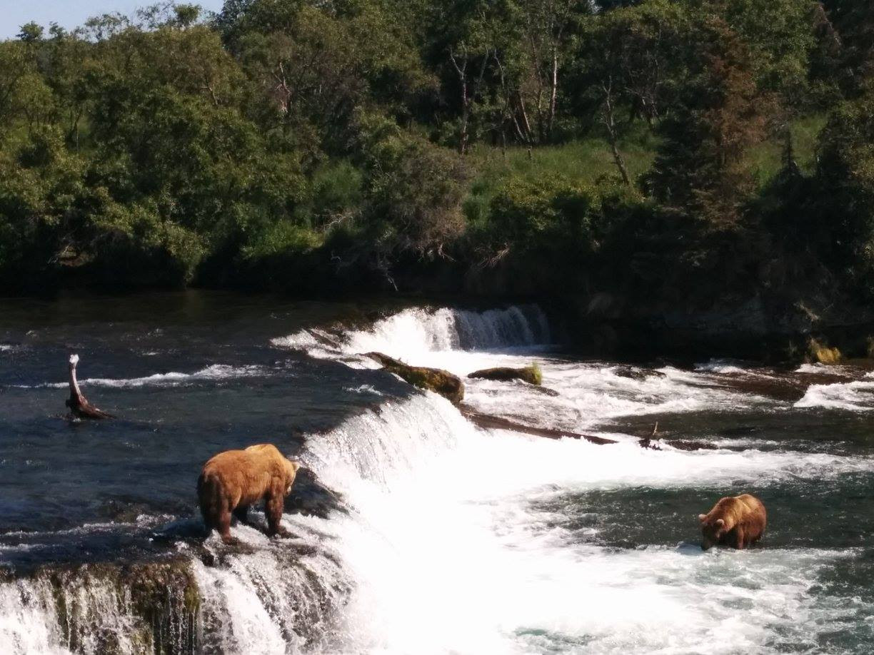 Brown Bears standing at Brooks Falls and waiting for their Salmon to jump into their mouth. Photo by Ido Gayer.