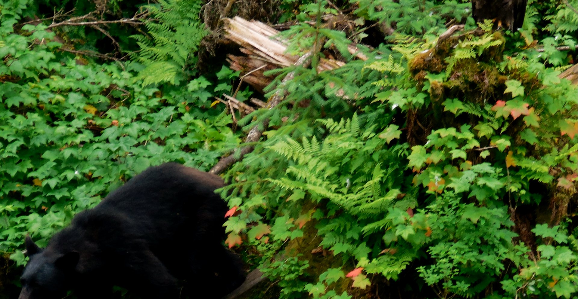 Black Bear interrupting the Bald Eagle in his medidation :). Anan Creek, SE Alaska. Photo by Ido Gayer.