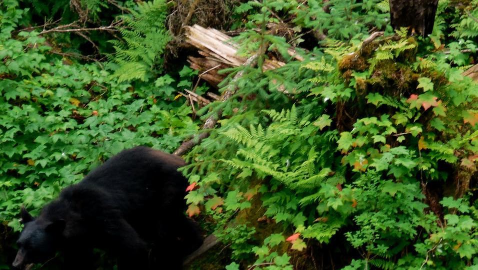 Black Bear interrupting the Bald Eagle in his medidation :). Anan Creek, SE Alaska. Photo by Ido Gayer.