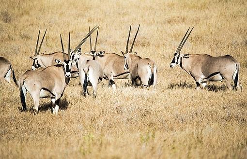 A heard of Oryxs wandering in the wilderness.