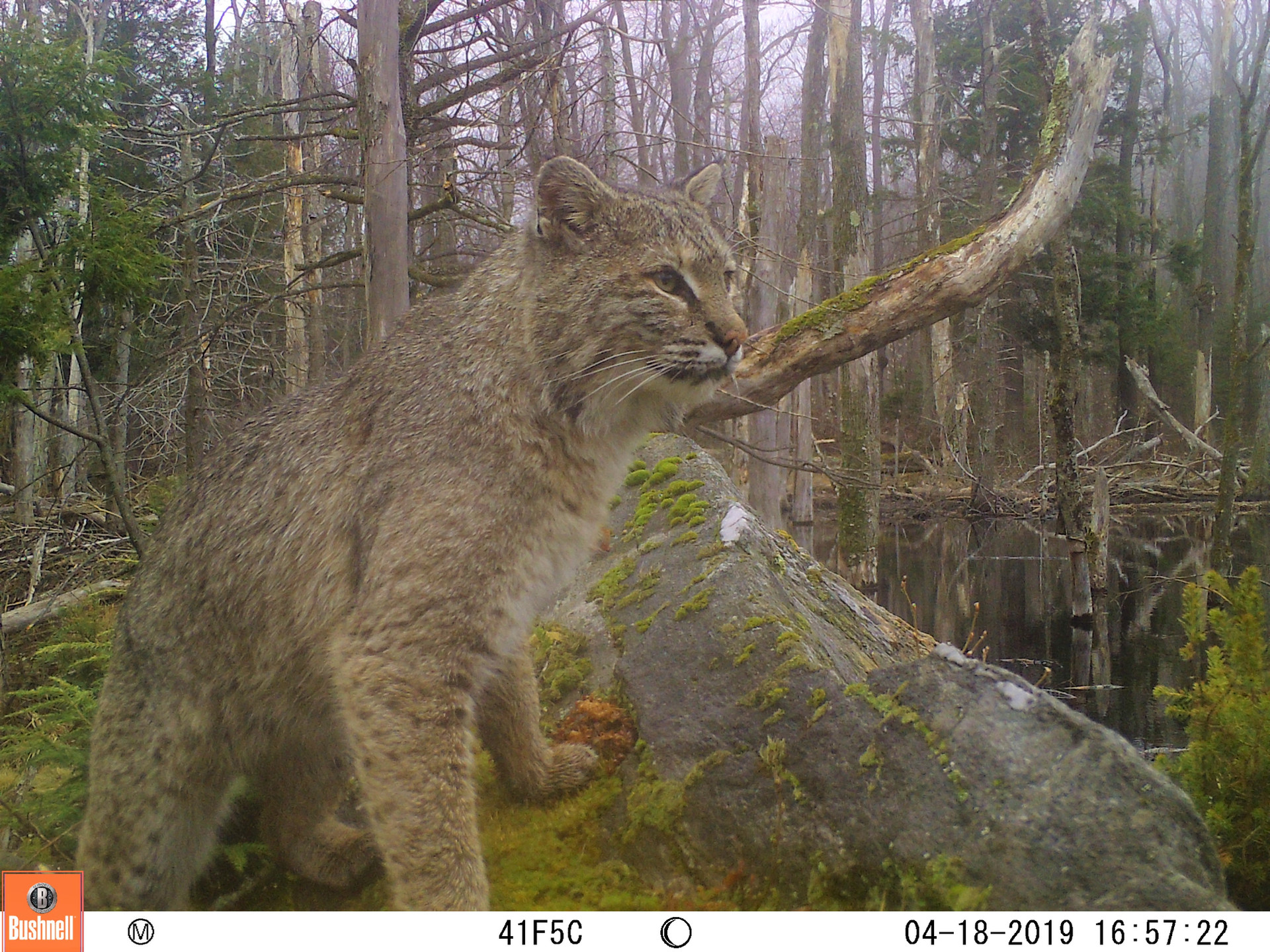 Bobcat on Rock
