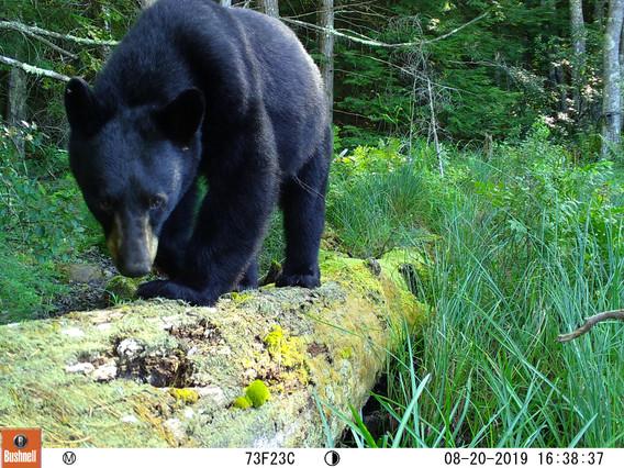 Black Bear Stare Down