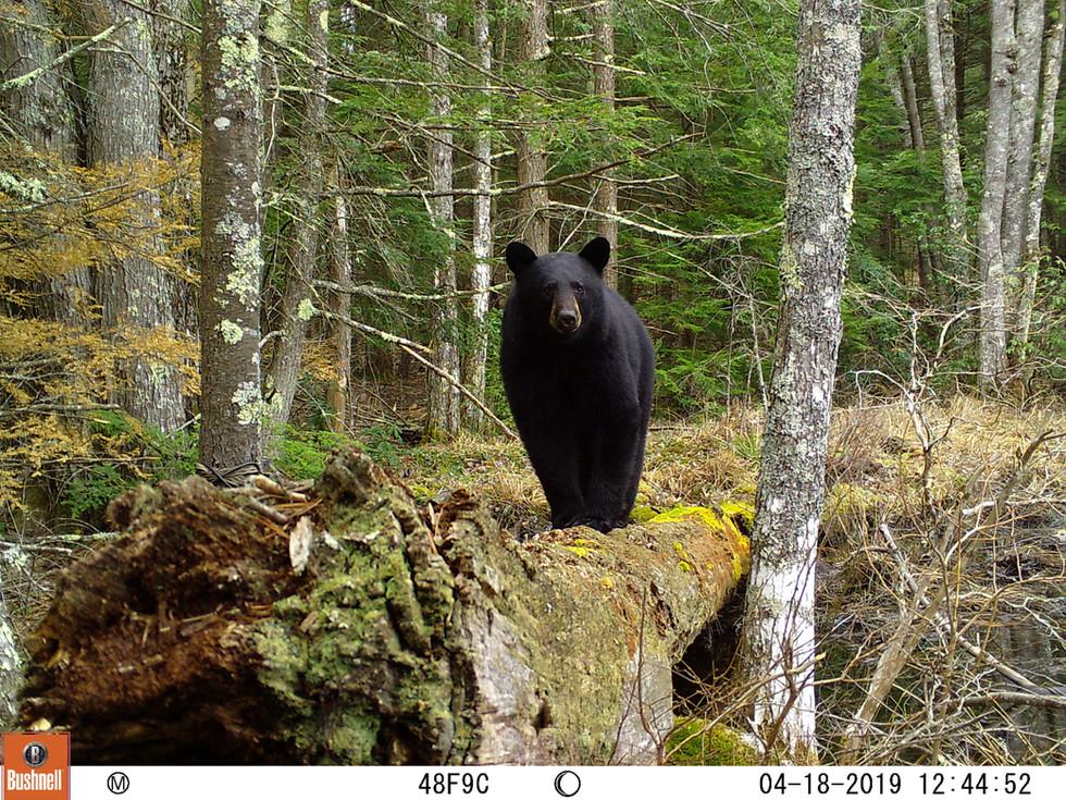 Black Bear Poser