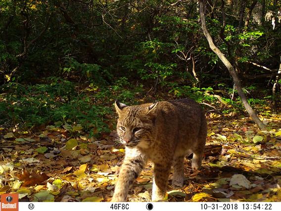 Autumnal Bobcat