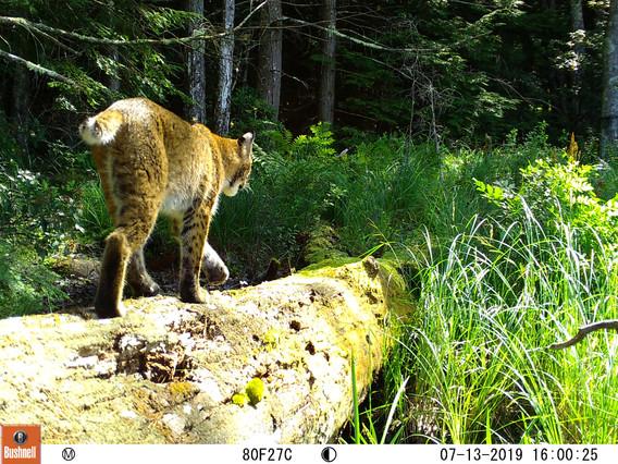 Bobcat in Sunshine