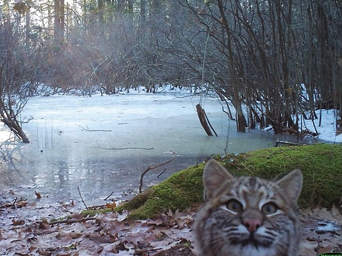 4 Bobcat Photobomb Notecards