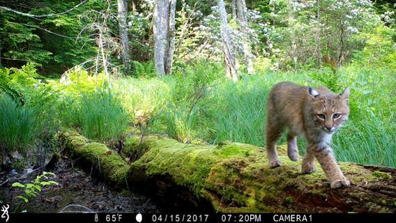 Log Walker Bobcat