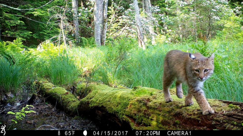 Log Walker Bobcat
