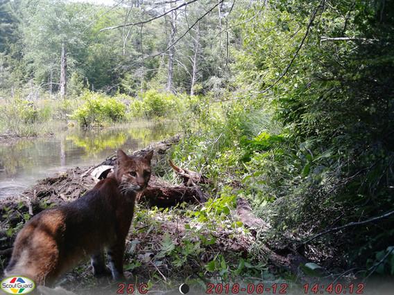 Bobcat at Pond Edge