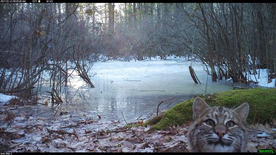Photobomb Bobcat